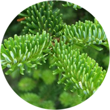 Abies Fraseri in pot - Gratis 1 sachet voeding